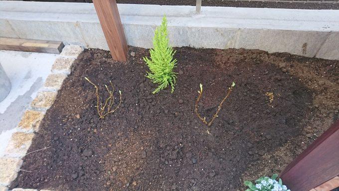 紫陽花(アナベル)1年目。3月末に苗を2つ植えた状態