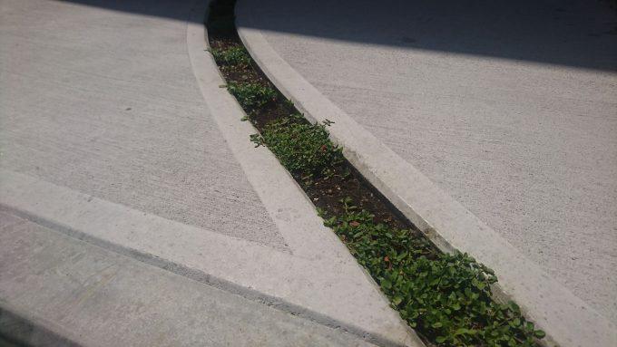 玄関アプローチの溝にヒメイワダレソウ植えた。植えたて。