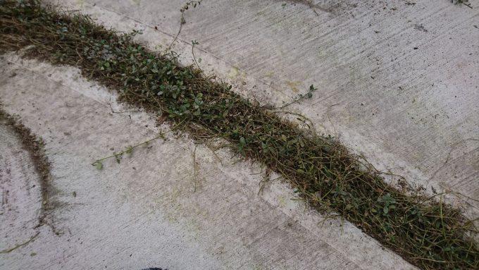 12月枯れたヒメイワダレソウを刈り込んだ後。コンクリートが汚い