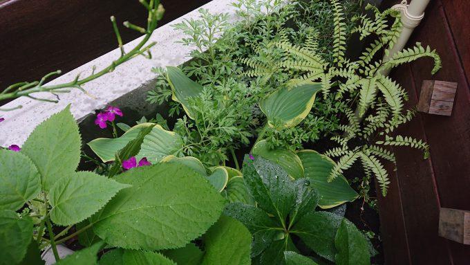 小さな花壇・シダとギボウシ